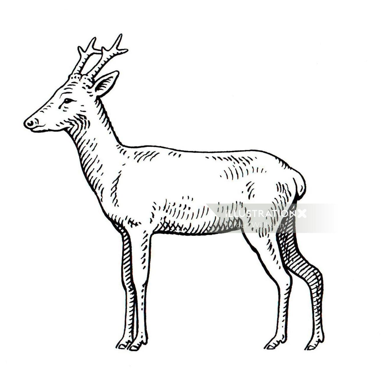 Deer Animal illustration