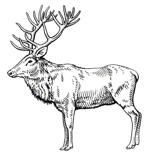 Elk animal black and white illustration