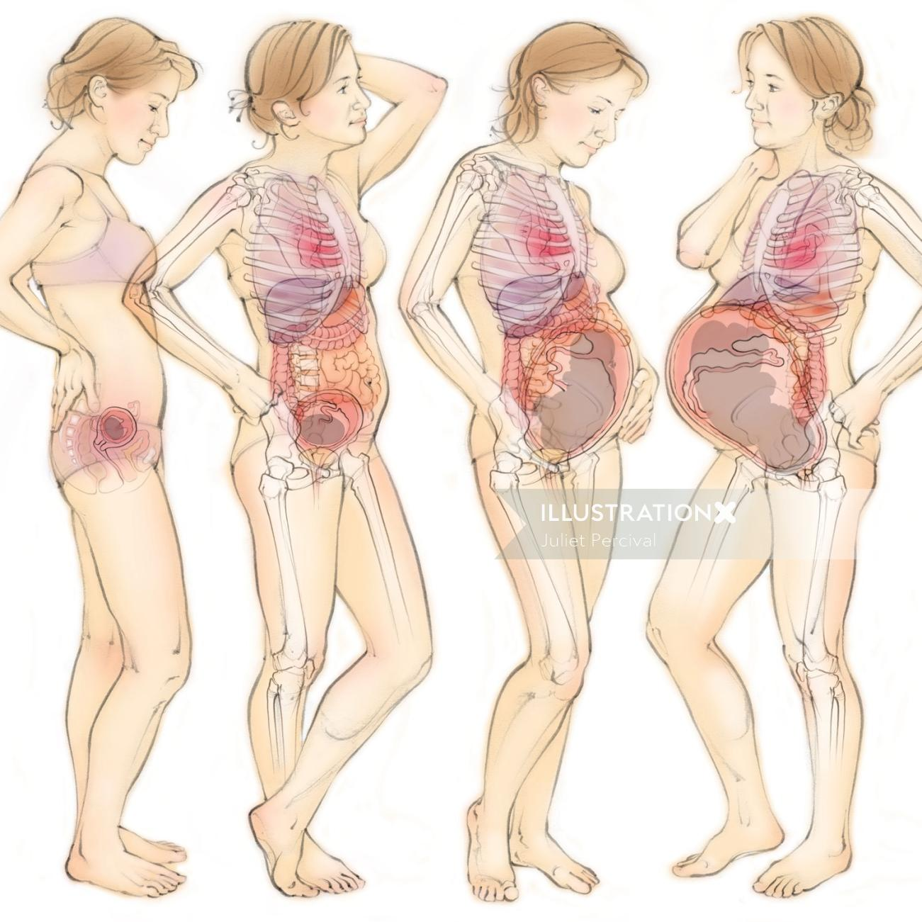 Anatomy of pregnancy - Medical illustration collection