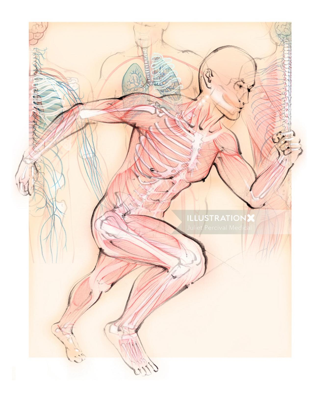 anatomy, running man, muscles, skeleton, bones, runner
