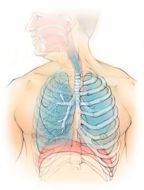 anatomía, pulmones, diafragma, caja torácica, tráquea, bronquios,