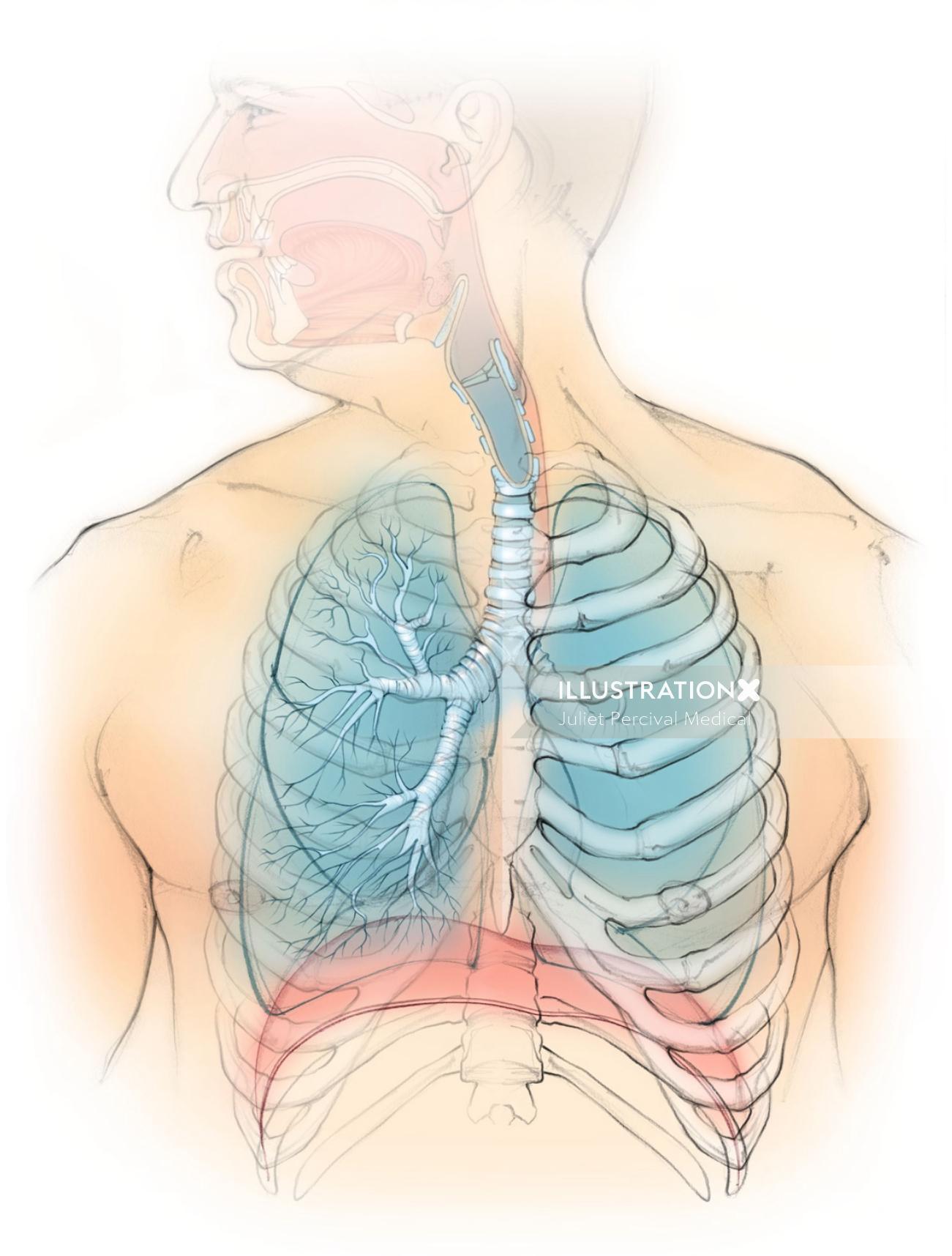 anatomy, lungs, diaphragm, ribcage, trachea, bronchus,