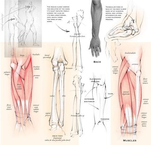 anatomía, antebrazo, radio, cúbito, huesos, músculos