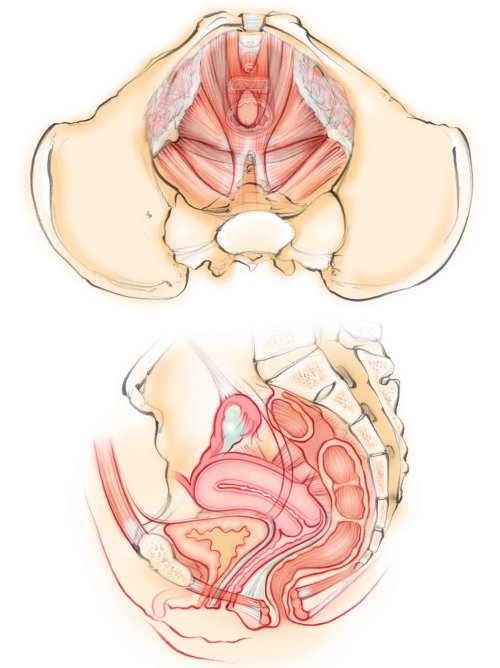 anatomy, female, pelvic floor, muscles, uterus, bladder, pelvis