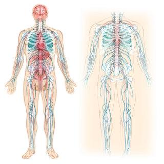 Anatomy, skeleton, circulation, blood vessels, nervous system, bones, stomach