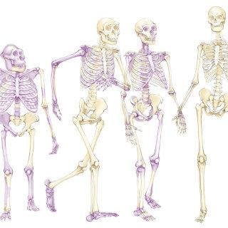 skeletons, evolution, hominids, ancestors