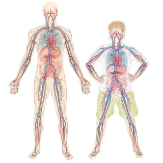 blood vessels, arteries, veins, anatomy, circulatory system, heart