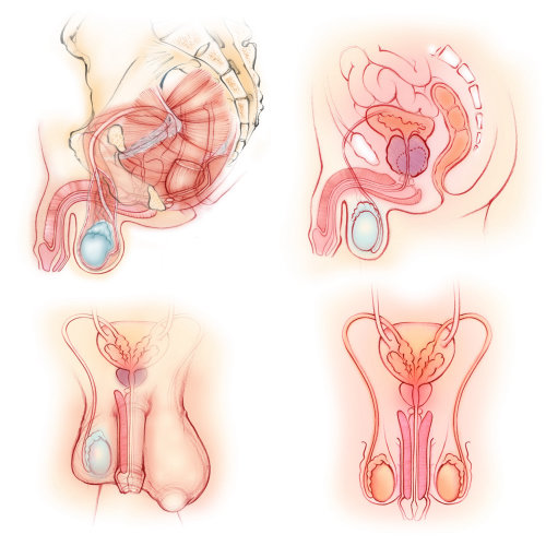 anatomy, male, reproductive organs, pelvic floor muscles, penis, prostate