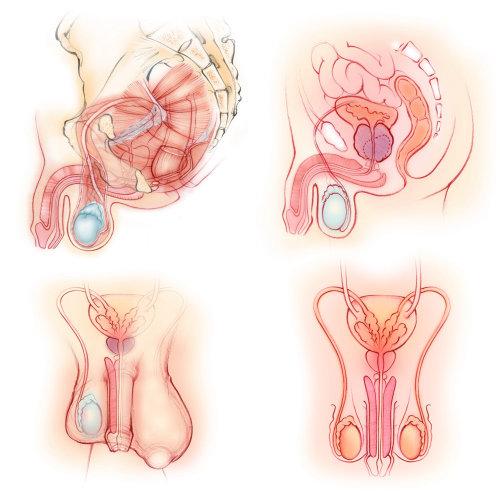anatomía, masculino, órganos reproductivos, músculos del piso pélvico, pene, próstata