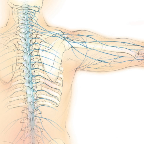spinal nerves, anatomy, spine, shoulder blade, scapula, back