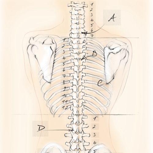 anatomy, skeleton, spine, vertebrae, bones, shoulder blades