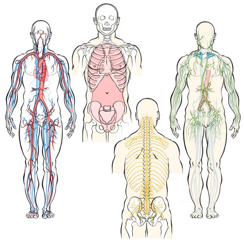 human anatomy, circulatory system, arteries, veins, nerves, lymphatic system