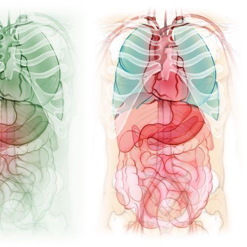 digestive system, stomach, liver, gall bladder, intestine, heart, anatomy