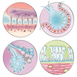 alveoli, gas exchange, smooth muscle cells, smell receptor, nasal bulb