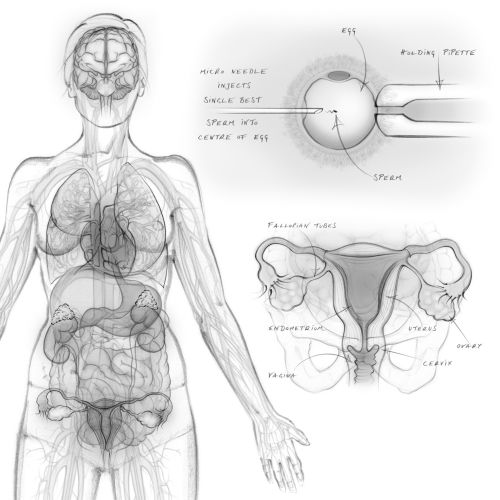 Artwork of Female Reproductive Organs