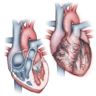 heart, anatomy, coronary artery, pulmonary artery, pulmonary vein, atria, ventricles, aorta