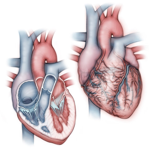 heart, anatomy, coronary artery, pulmonary artery, pulmonary vein, atria, ventricles, aorta