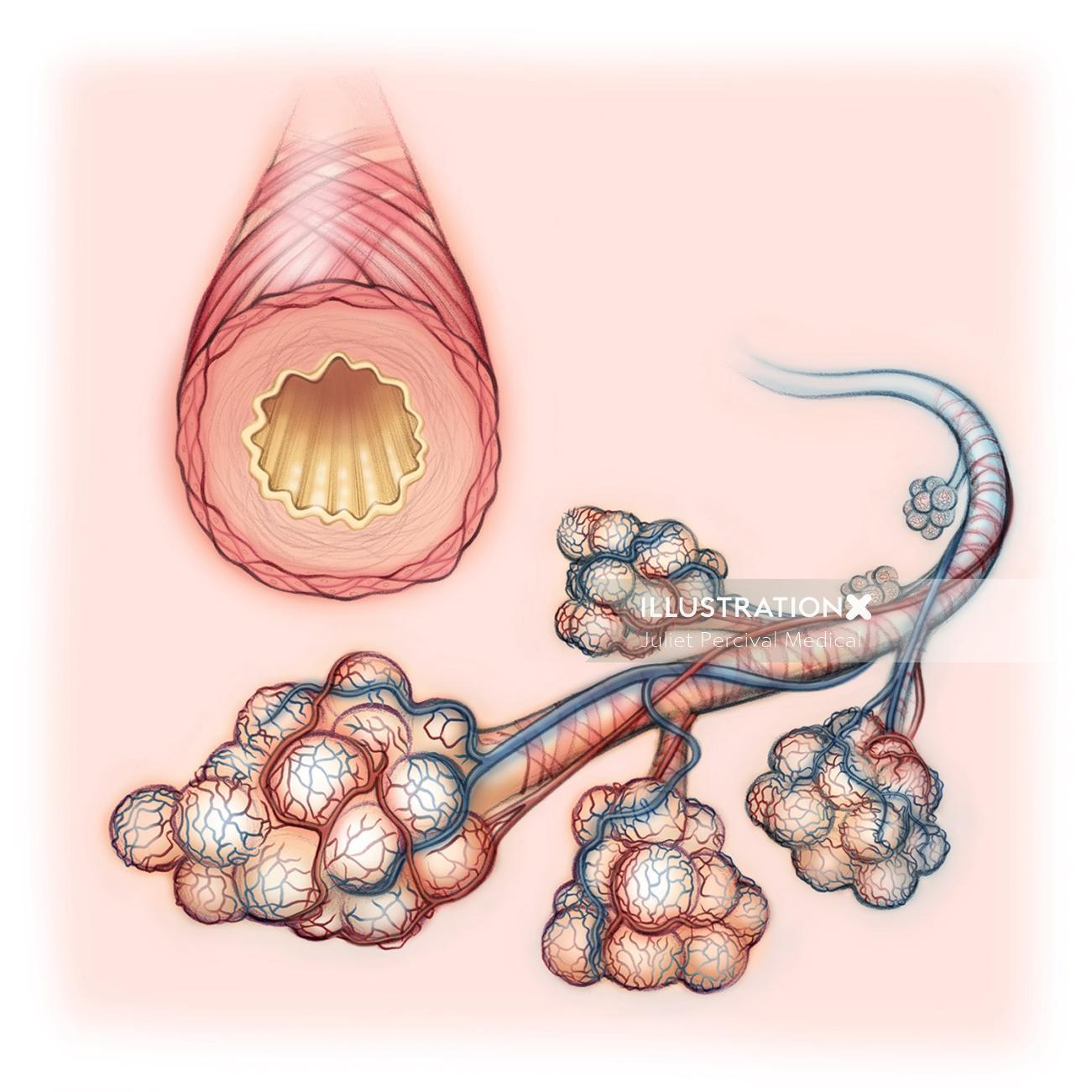 healthy lung, anatomy, bronchiole, bronchus, alveoli
