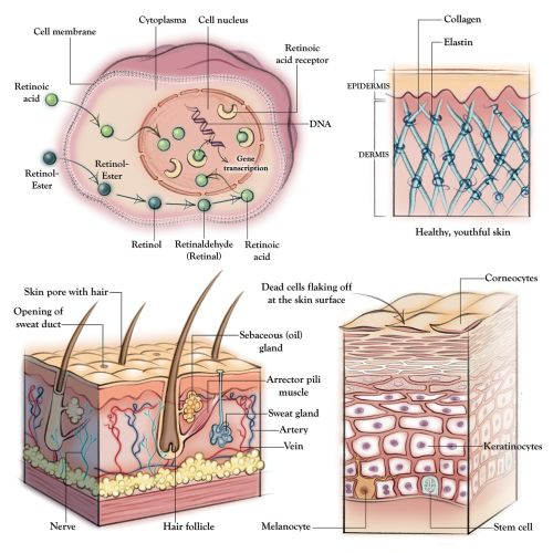 anatomy, skin, dermatology, collagen, elastin, hair follicle, cell membrane, epidermis