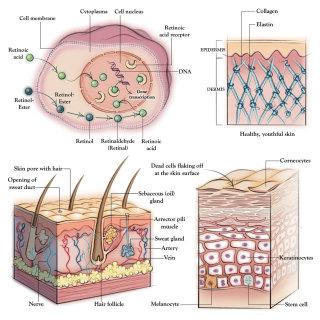 anatomy, skin, dermatology, collagen, elastin, hair follicle, cell membrane, epidermis