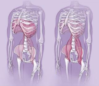 anatomy, skeleton, diaphragm, psoas muscle, body, bones, pelvis, ribcage