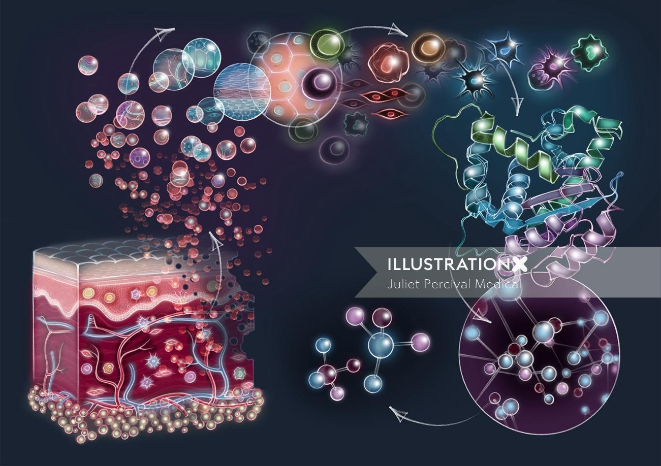 anatomy, skin, epidermis, dermis, peptides, cells, proteins