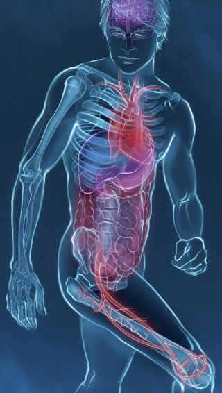 Anatomy, body, heart, liver, stomach, bowel, skeleton
