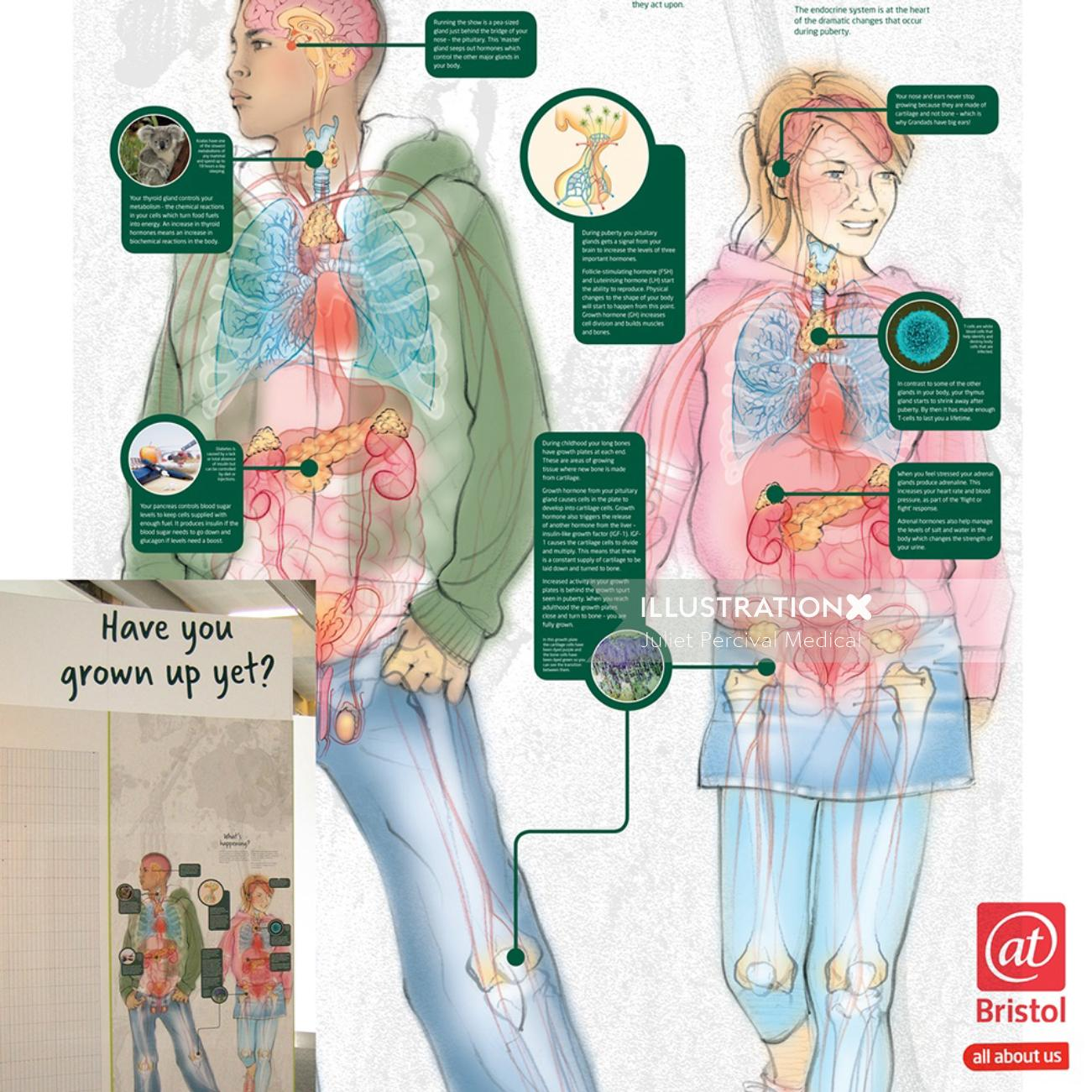 infographic, anatomy, growth hormones, boy, girl