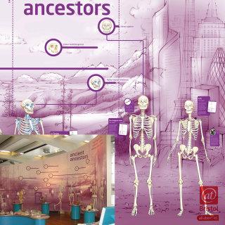 evolution, skeletons, hominids, ancestors, homus erectus, apes