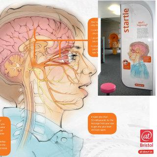 anatomy, human, brain, optic, nerves, cerebellum, facial