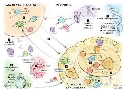immunology, antibody, pancreatic lymph node, Islet of Langerhans,