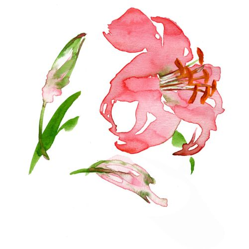 Lilly illustration by Katharine Asher