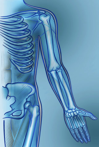 Arm muscle illustration by Klaus Meinhardt