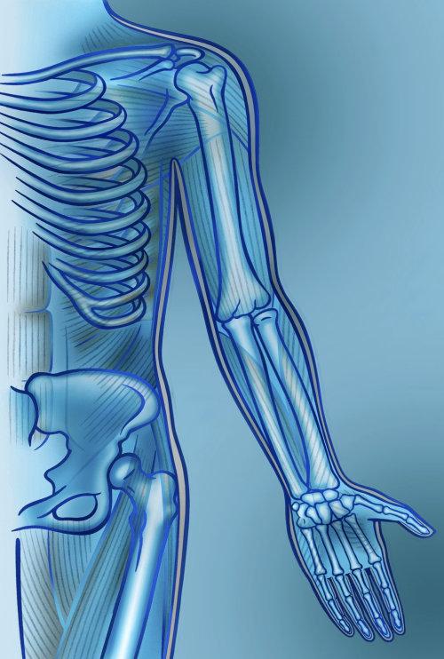 Ilustración del músculo del brazo por Klaus Meinhardt