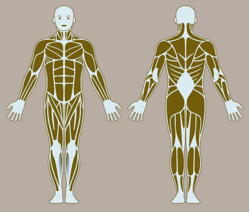 human body bones illustration By Klaus Meinhardt