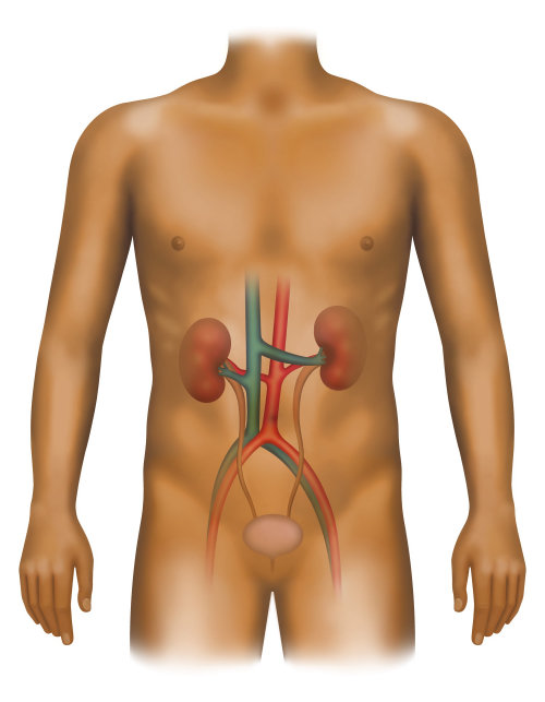 Urinary renal system of human body
