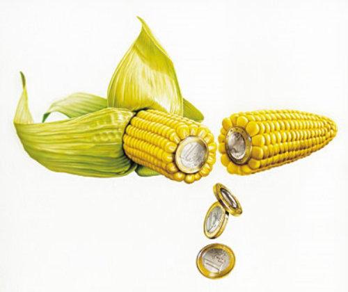 Fresh Yellow corns with money falling