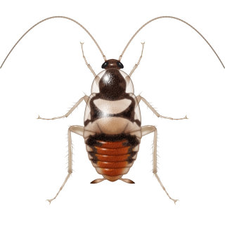 Illustration of young cockroach