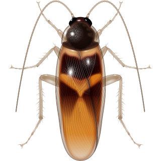 Illustration of Adult cockroach