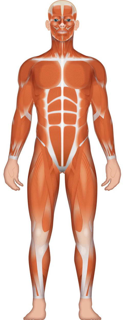 Illustration of Musculature