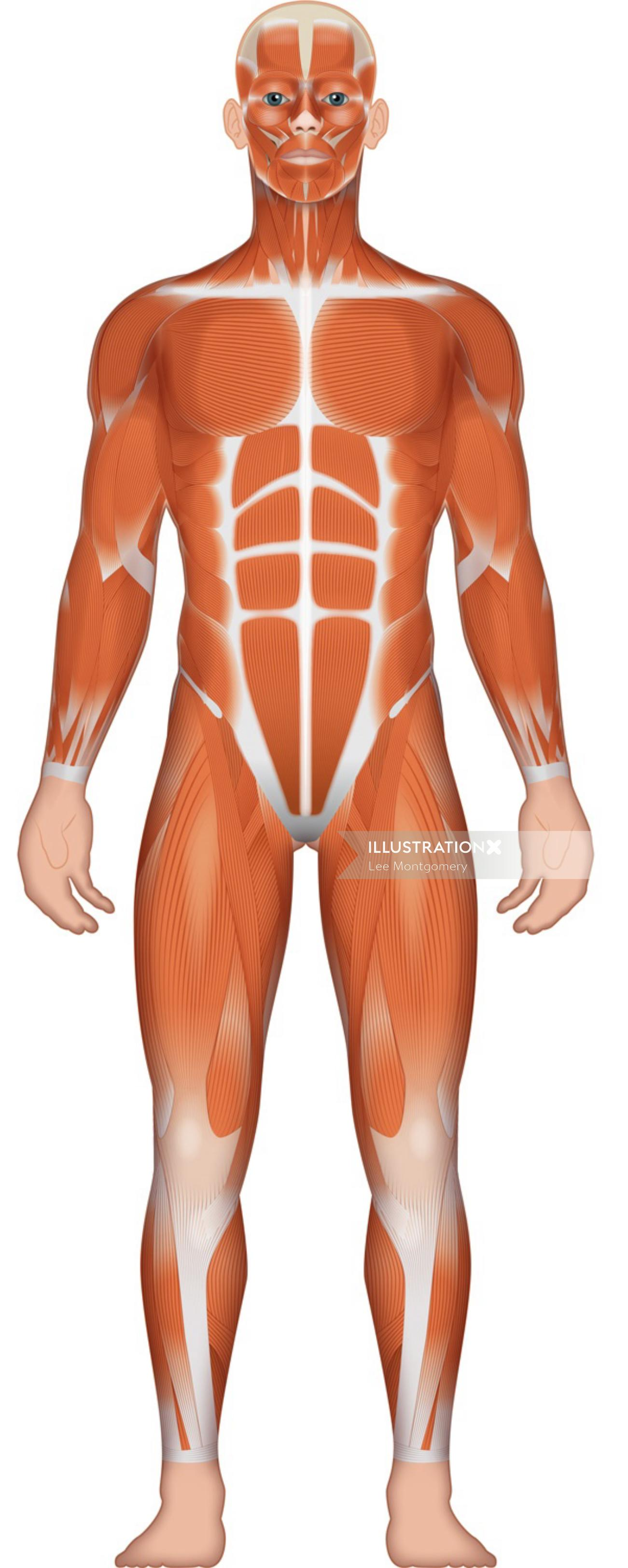 Illustration of Musculature