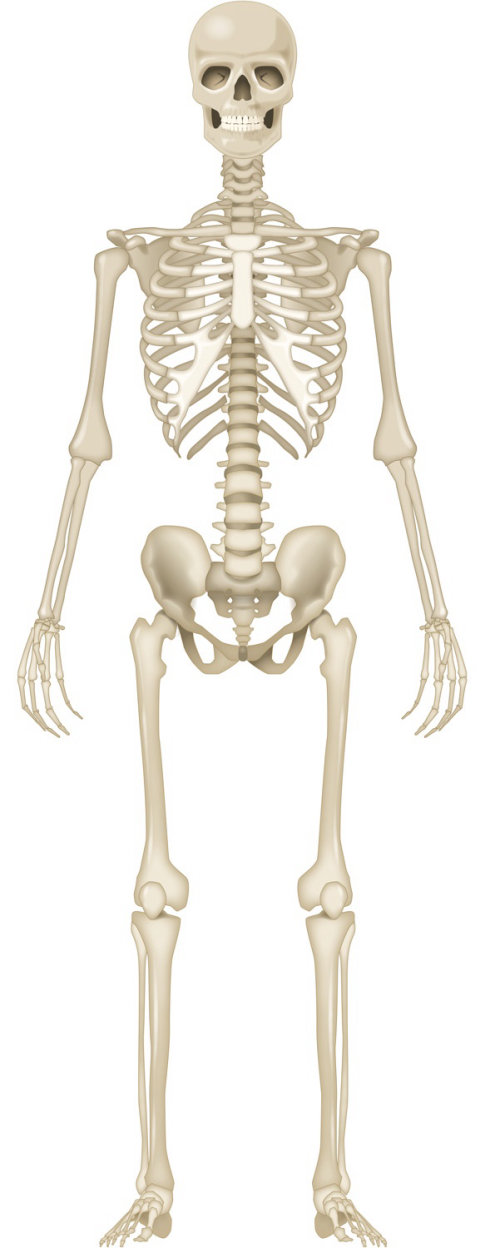 Illustration of human skeleton