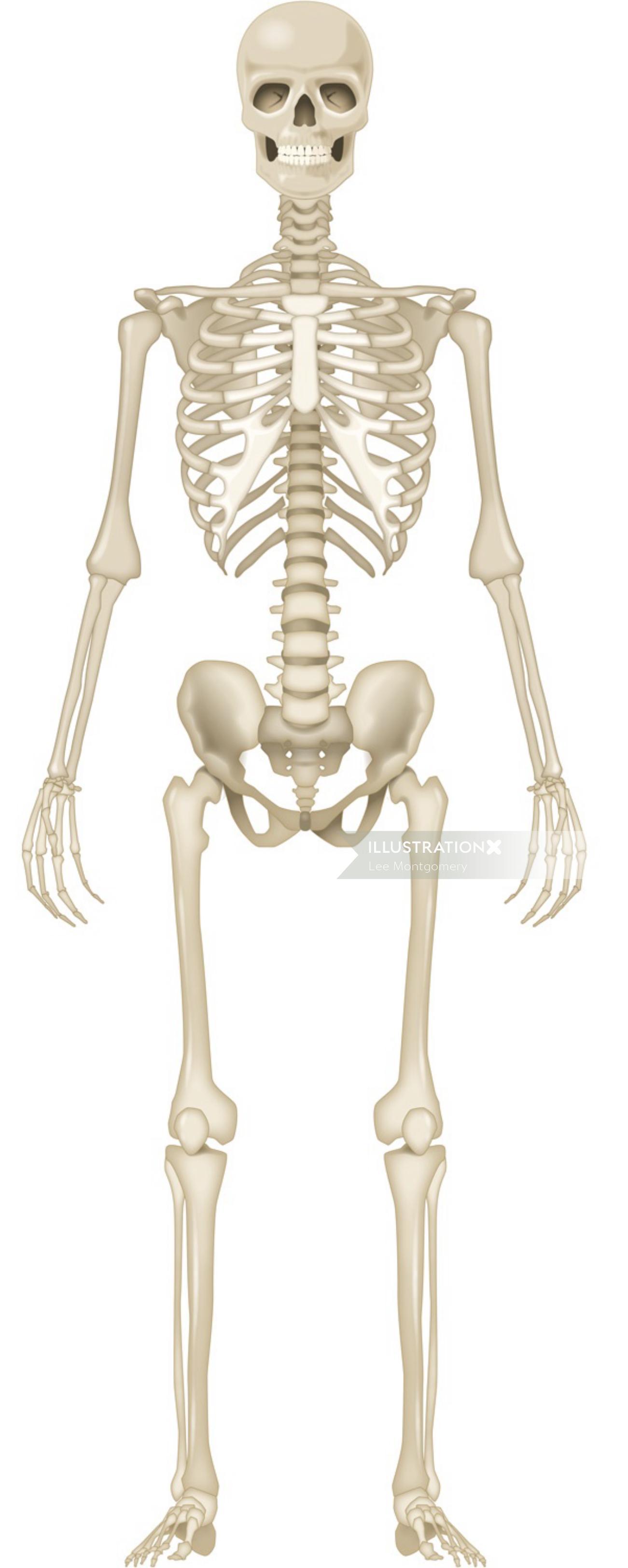Illustration of human skeleton