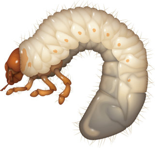 Illustration of White Grub