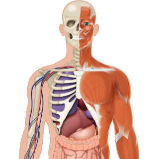 Illustration of human body