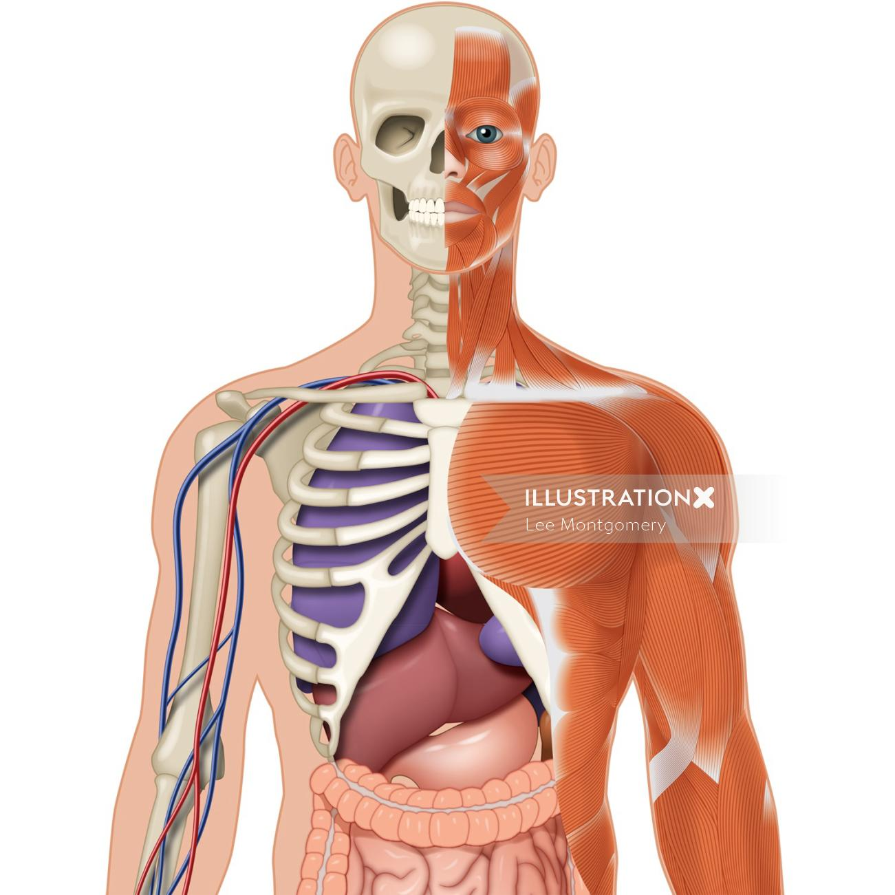 Illustration of human body