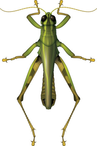 Illustration of Grasshopper