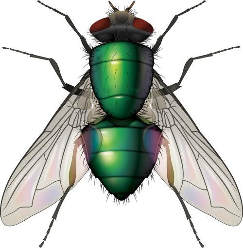Illustration of Greenbottle fly