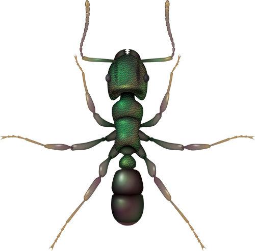 Animal Green Head Ant