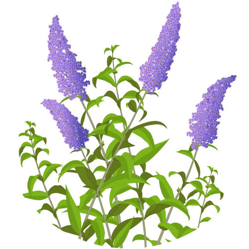 Illustration of Buddleia Icon